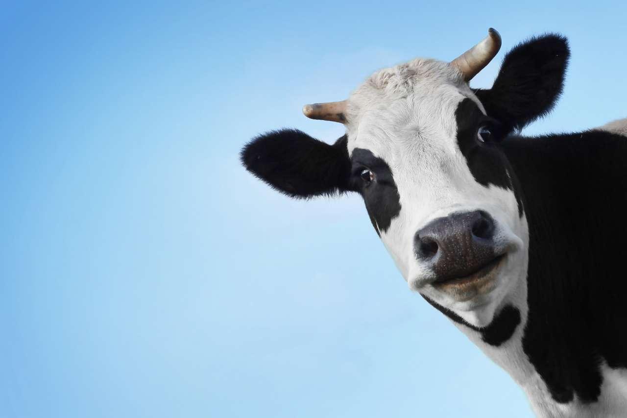 """Результат пошуку зображень за запитом корова"""""""